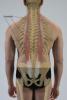 Подвздошно-рёберная мышца