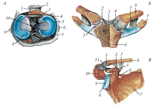 Кровоснабжение иннервация и лимфоотток в суставах