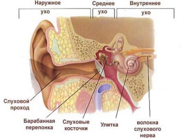 средние ухо фото